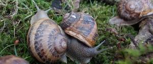 Les escargots du Marquenterre